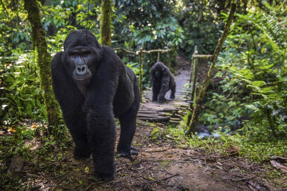 Mountain Gorillas in Bwindi Impenetrable National Park; photo by Marcus Westberg