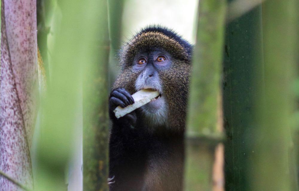 Golden monkey eating; photo by Jiro Ose