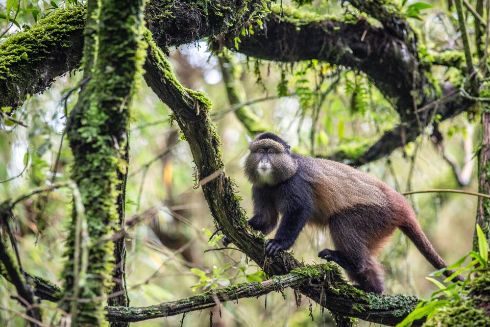 Golden monkey on the move; photo by Jiro Ose
