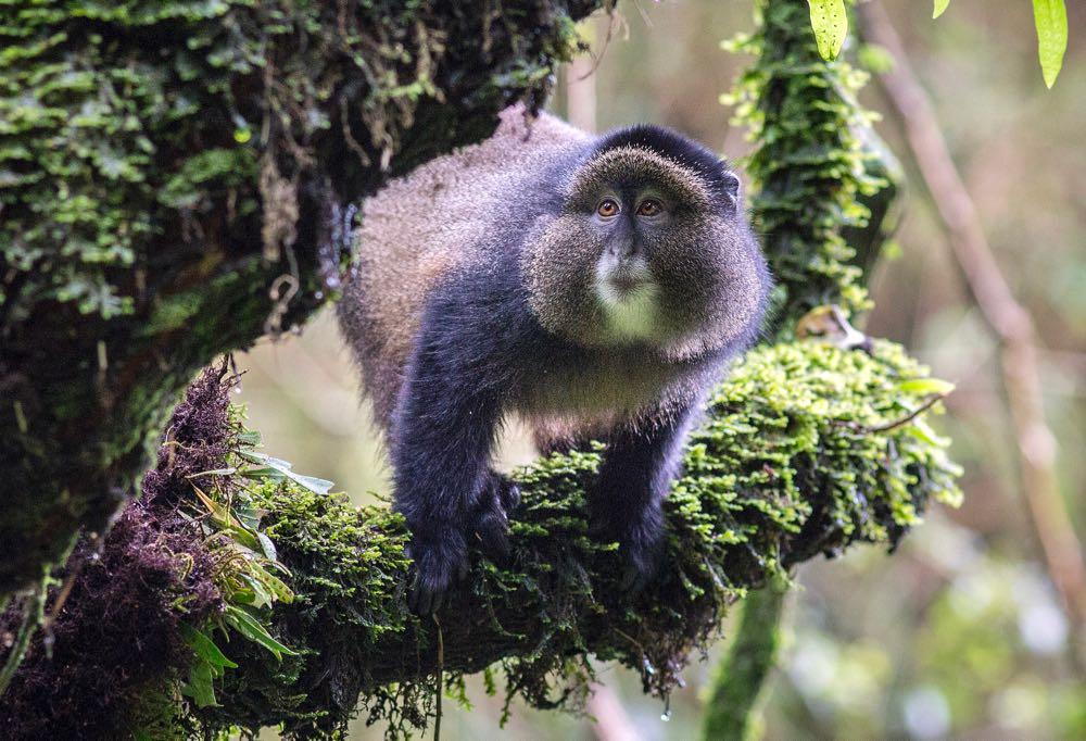 Golden monkey; photo by Jiro Ose