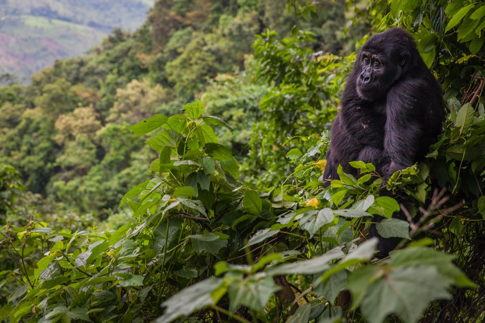 Mountain gorilla in Bwindi Impenetrable National Park; photo by Marcus Westberg