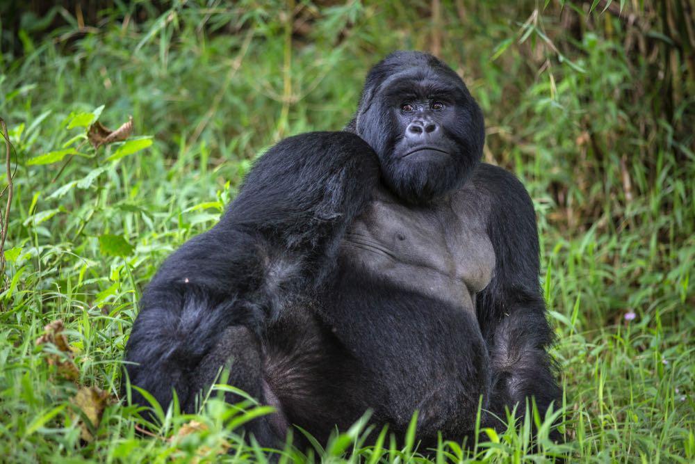 Silberback mountain gorilla in Mgahinga Gorilla National Park; photo by Jiro Ose