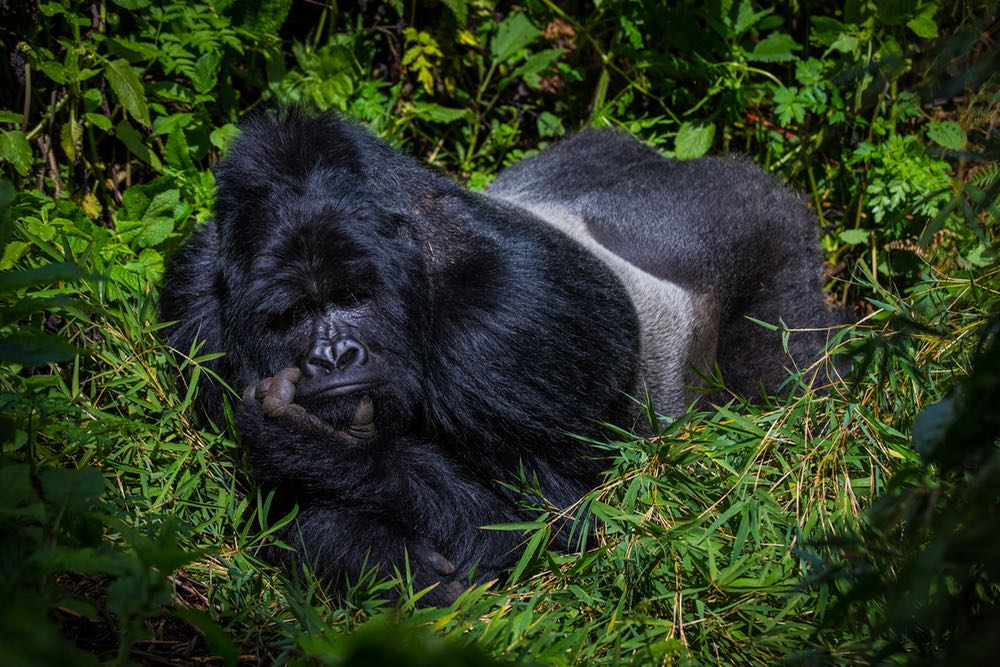 Silverback gorilla in Mgahinga Gorilla National Park by Marcus Westberg