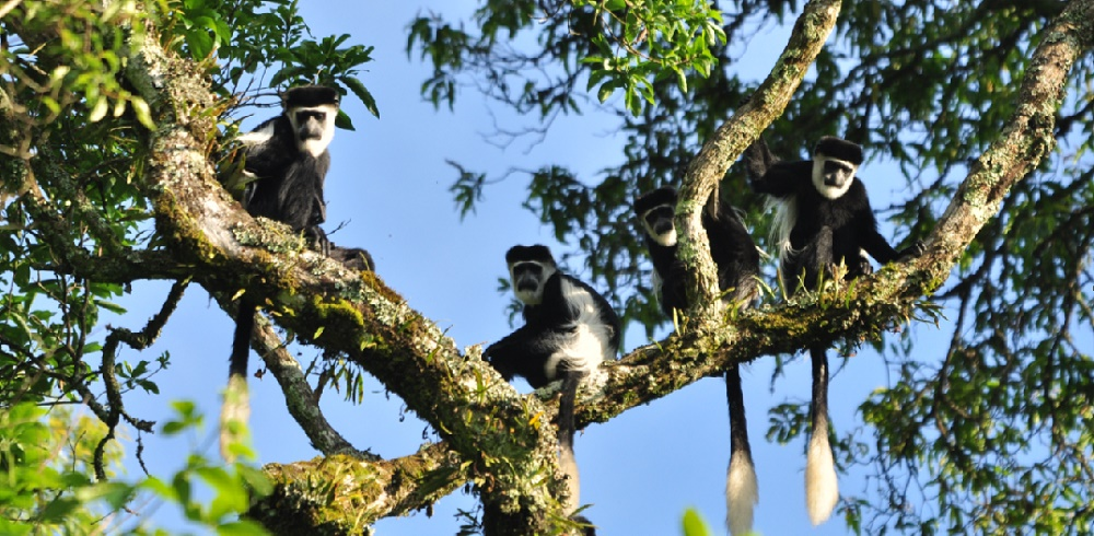 Black and white colobus photo by Blasio Byekwaso