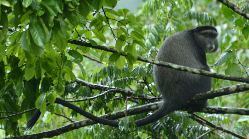 Blue Monkey by Blasio Byekwaso