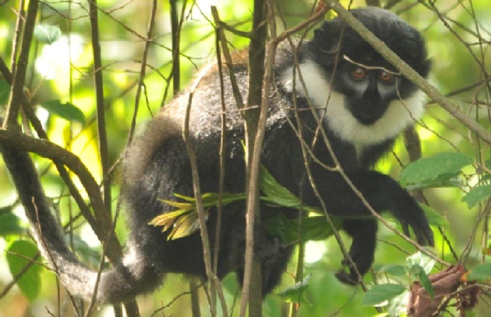 Mountain monkey photo by Blasio Byekwaso