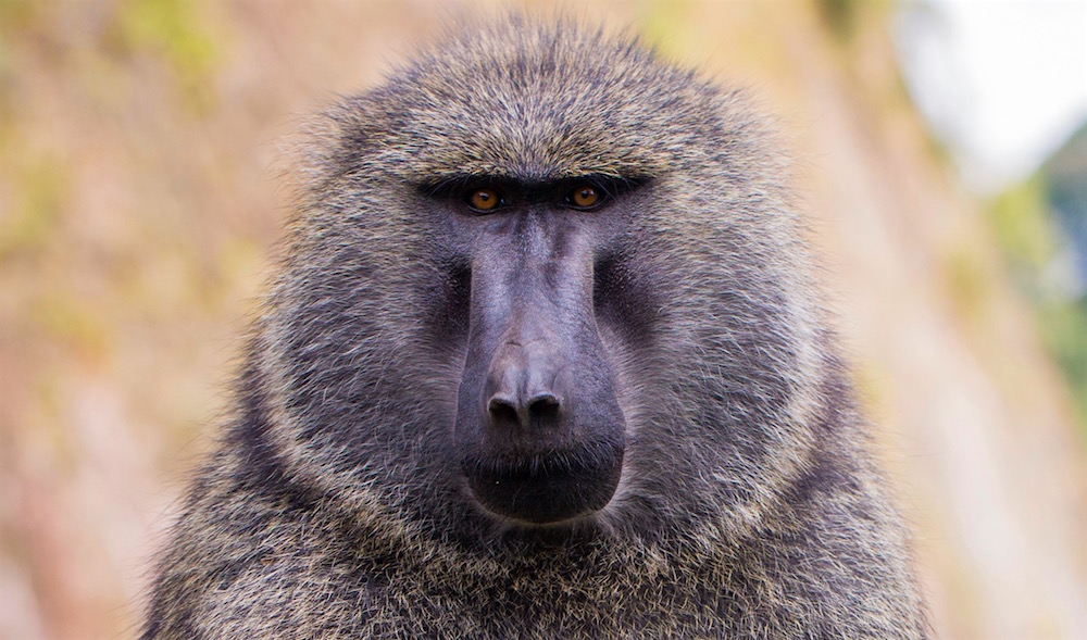 Olive Baboon Face by Marcus Westberg