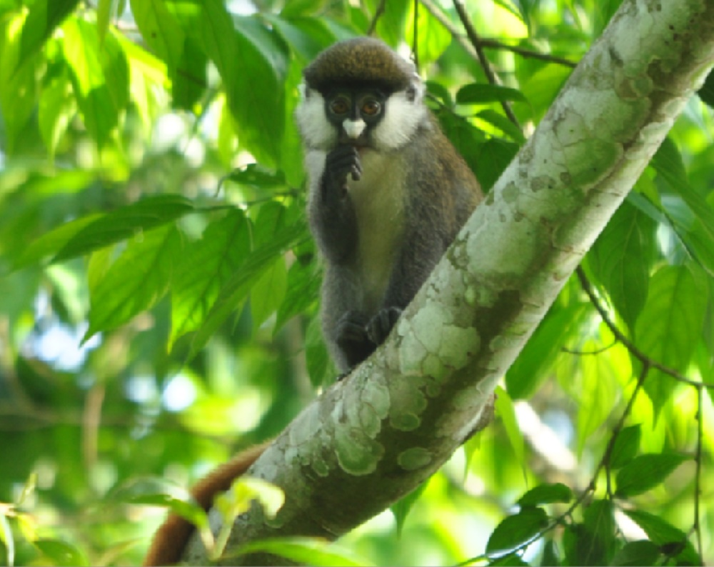Redtail monkey photo by Blasio Byekwaso
