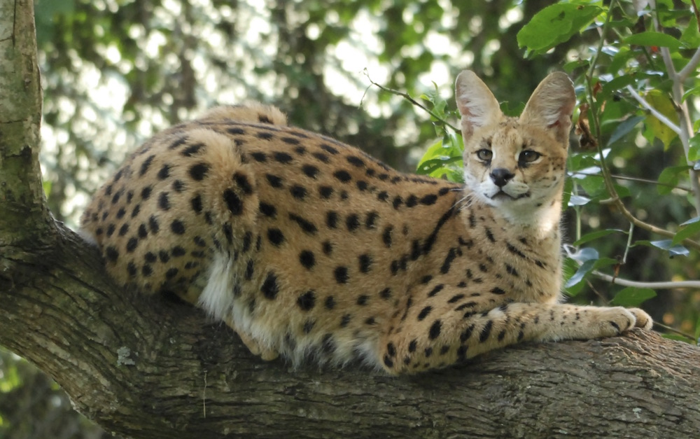 Serval Cat by Blasio Byekwaso