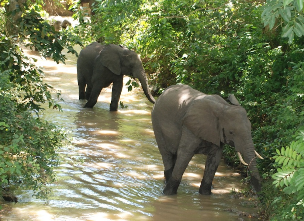 Elephants in a Ugandan forest; photo by Blasio Byekwaso