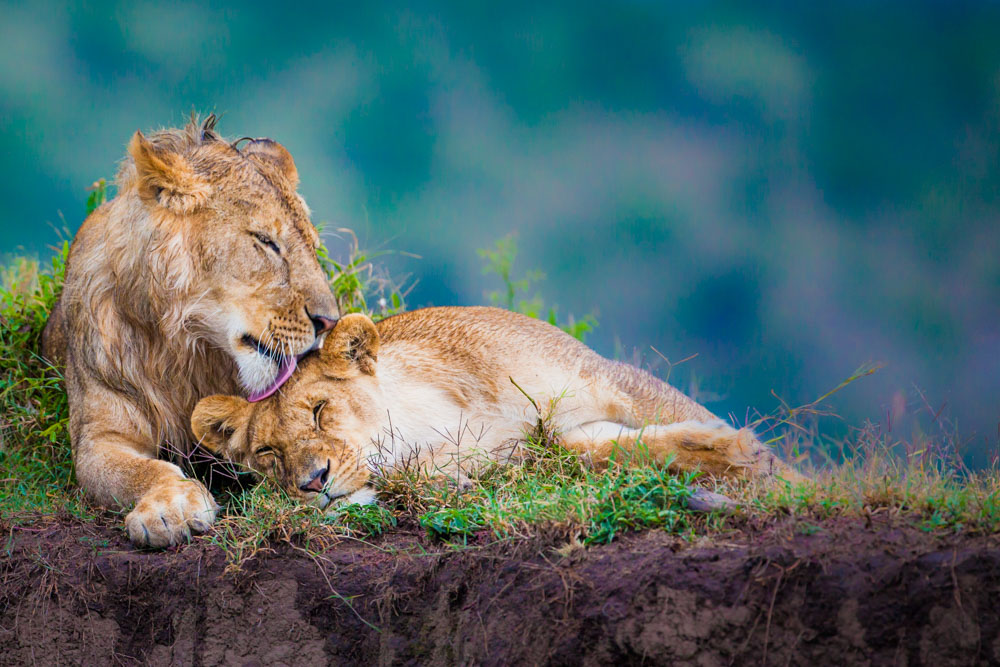 A brother and sister reaffirm their bonds with grooming in Kenya's Masai Mara; photo by Marcus Westberg