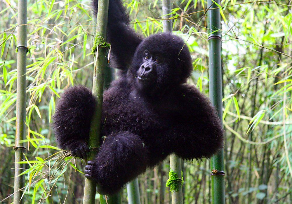 Mountain gorilla infant in bamboo; photo by Simona Seliskar