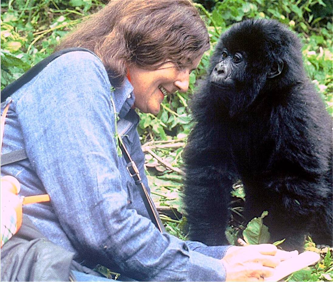Dian Fossey managed to habituate the gorillas and the curious juveniles often approached her and sometimes grabbed her notebook; photo by Dean Jacobs (courtesy of the Dian Fossey Gorilla Fund International)