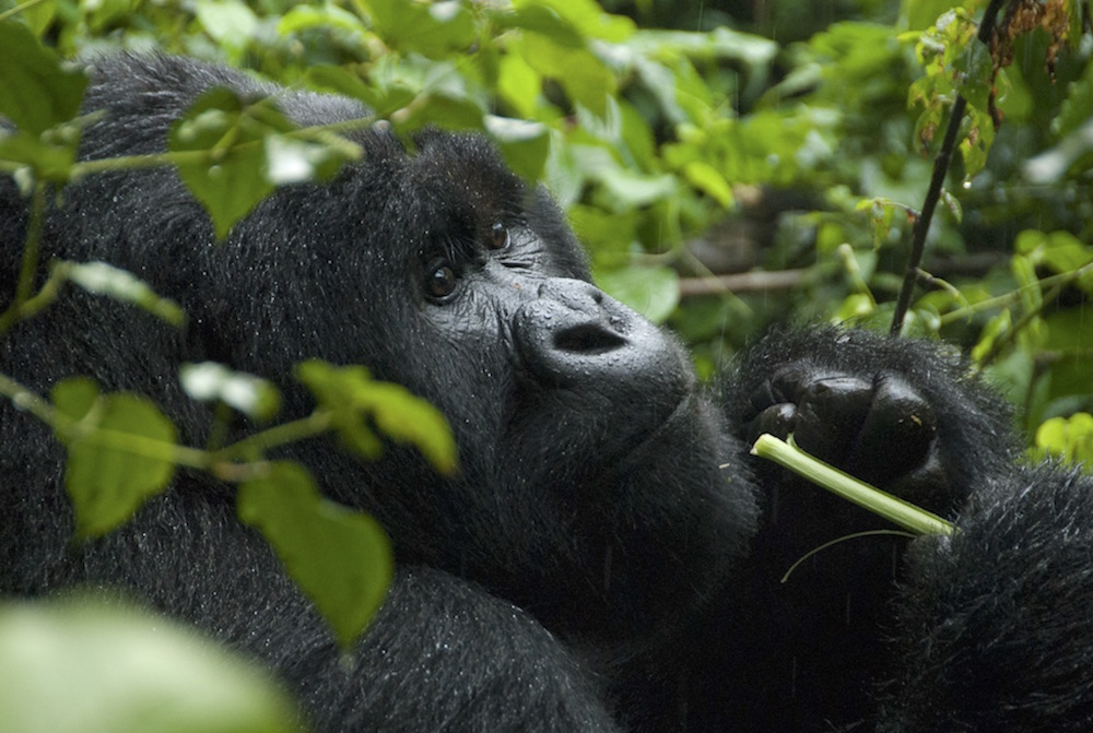 Gorilla in the Rain; photo by Molly Feltner