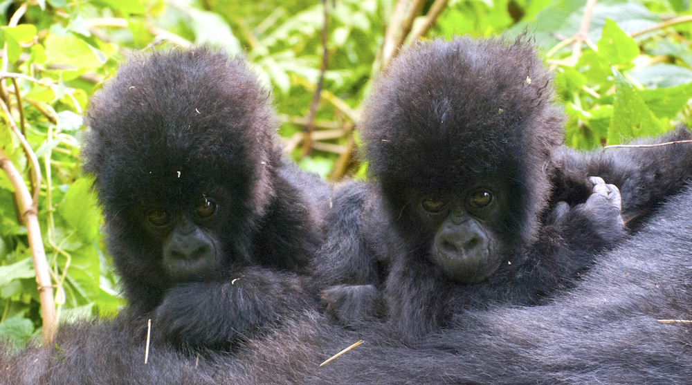 Mountain gorilla babies; photo by Dr. Jan Ramer, Gorilla Doctors