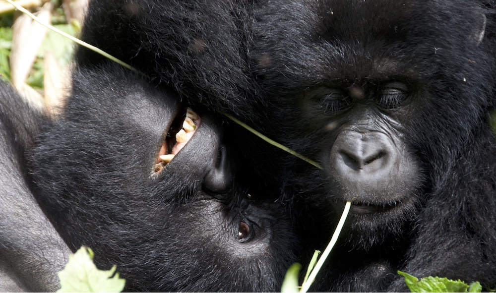 Mountain gorillas at play; photo by Molly Feltner