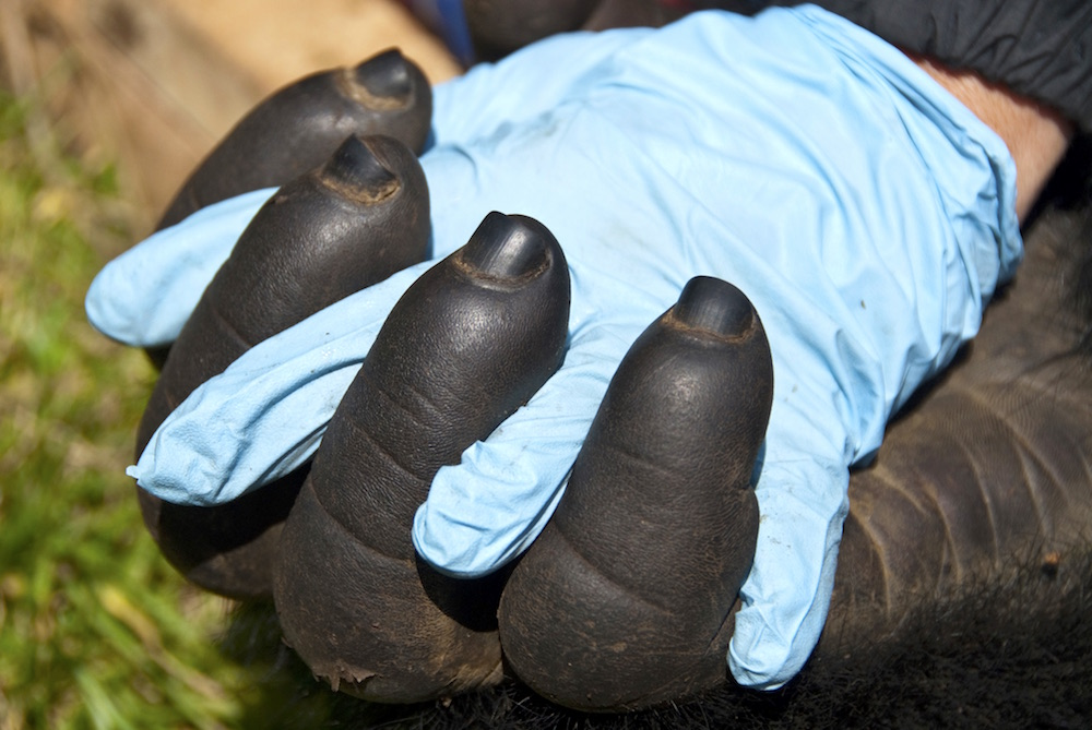 Similarities between mountain gorillas and humans have many manifestations; photo by Molly Feltner