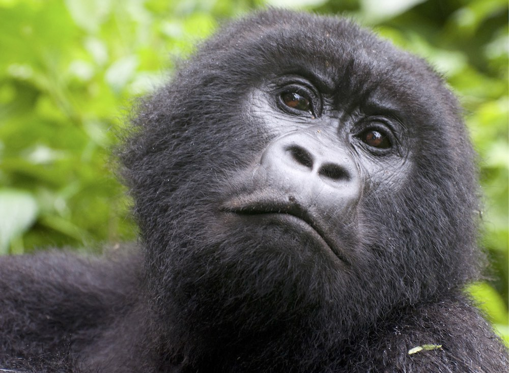 Wondering mountain gorilla; photo by Molly Feltner