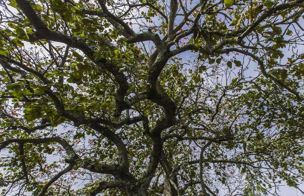 Flame tree from below; photo by Marcus Westberg