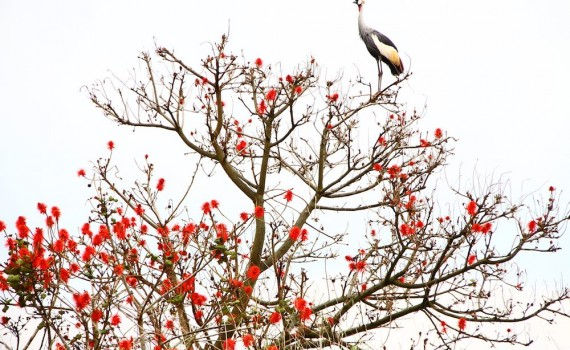 flame tree with a crested crane; photo by Ash Dumford