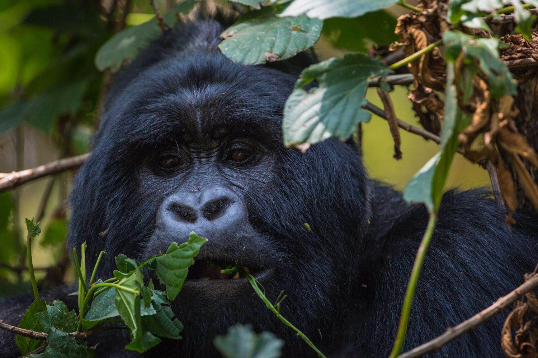 Mountain gorilla by Marcus Westberg