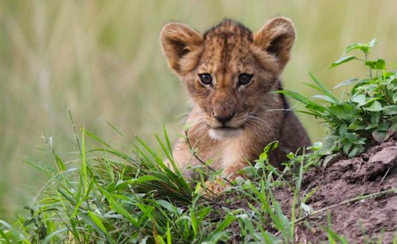 Akagera National Park lion cub; photo by Sean Carter