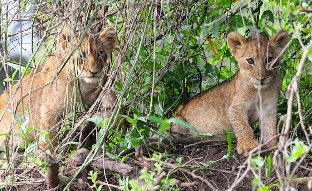 Akagera National Park lion cubs; photo by Sean Carter