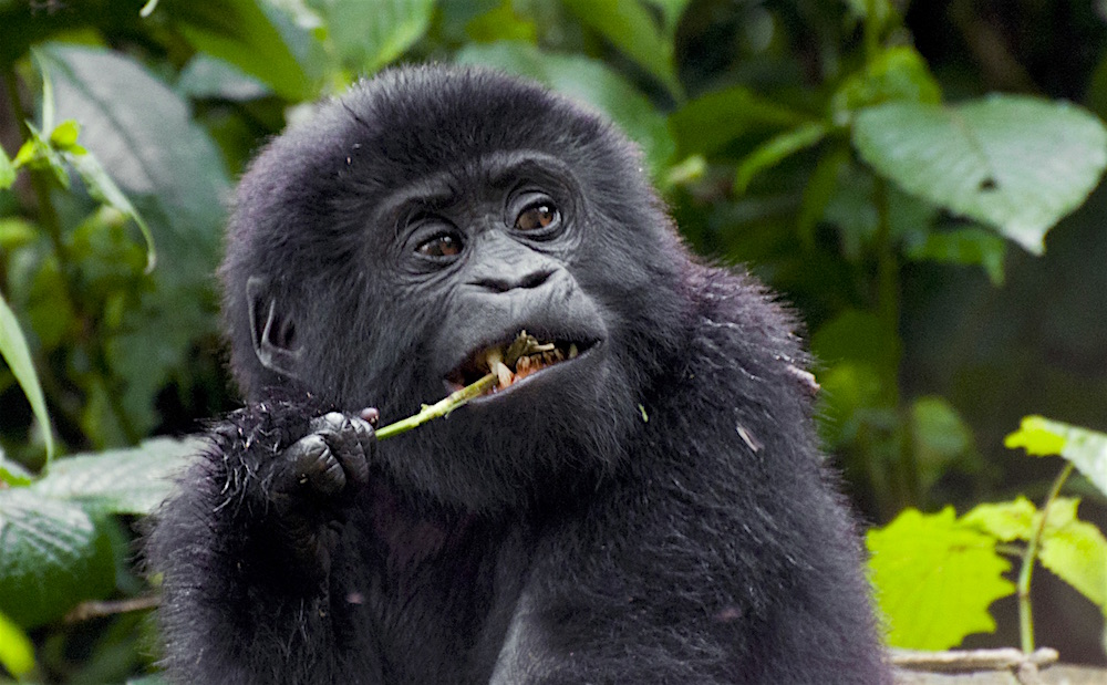 Eating mountain gorilla kid; photo by Molly Feltner