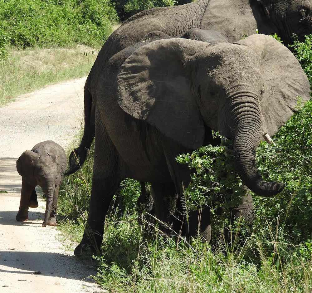 Elephants in Queen Elizabeth National Park; photo by Grosel Davieses