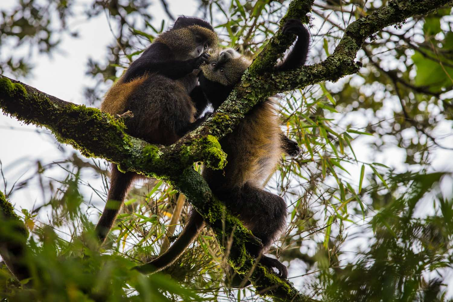 Golden monkeys in Volcanoes National Park; photo by Marcus Westberg