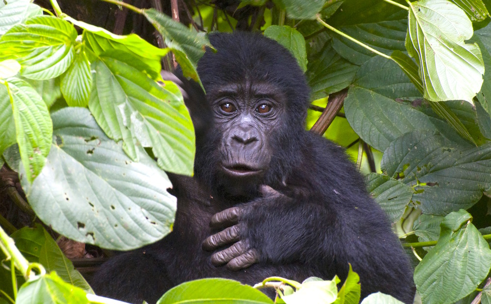 Gorilla infant expressing itself; photo by Molly Feltner
