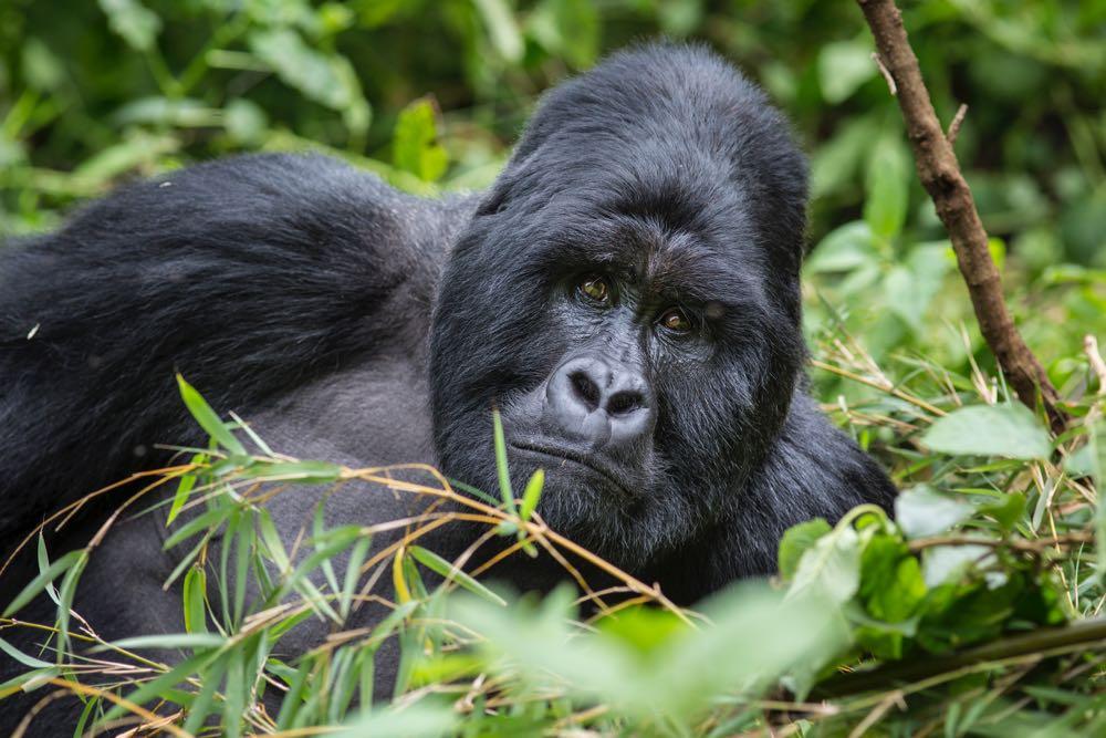 Gorilla silverback resting; photo by Jiro Ose
