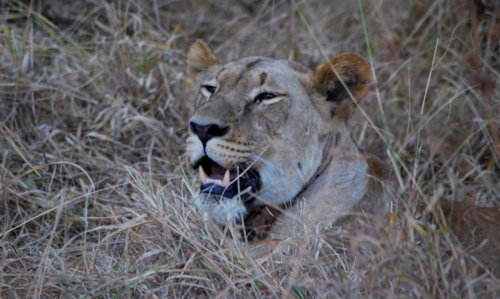 Lion with a GPS tracker in Akagera National Park; photo by Drew Bantlin