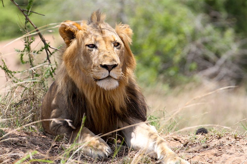 Male lion in Akagera National Park; photo by Sarah Hall