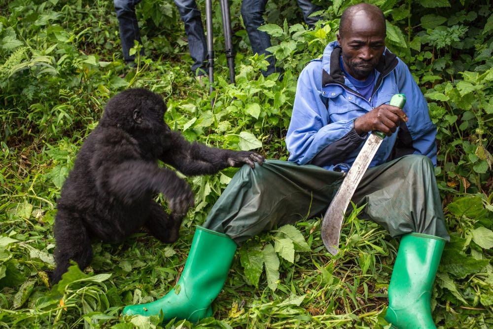 Mountain gorilla touching a tracker; photo by Jiro Ose