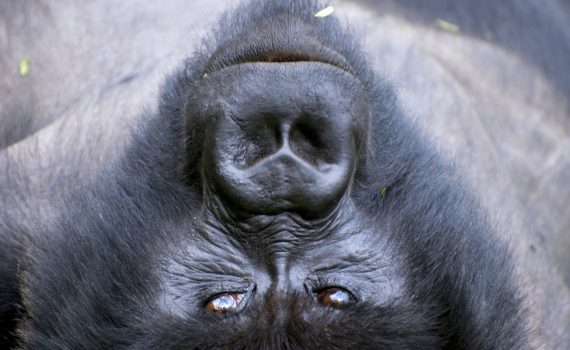 More recent candidate for the Lord of the Forest; photo by Dr. Magda Braum, Gorilla Doctors