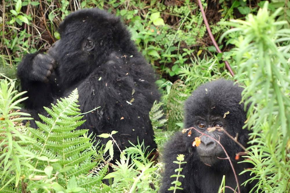 Two gorillas as seen by Tom Karemire