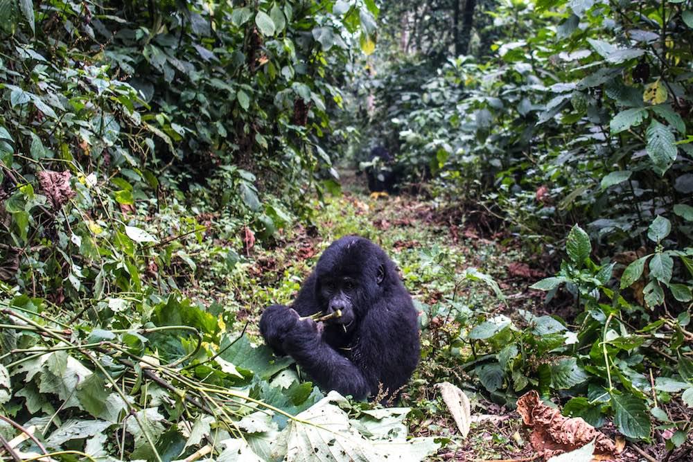 Mountain gorilla in Bwindi; photo by Stefano Barazzetta